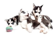 Playful puppy dogs Royalty Free Stock Photography