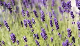 Plenty of Lavender Royalty Free Stock Photo