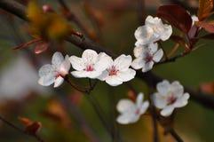 Plum flowers Stock Photography