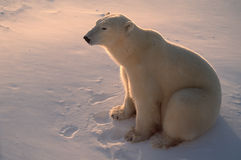Polar bear in  Arctic,backlit by low sunlight Stock Photography