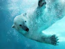 Polar bear underwater attack Stock Images