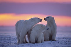 Polar bear with yearling cubs Stock Photography