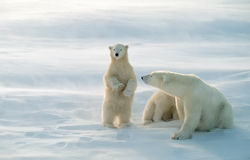 Polar bears in blowing snow storm,soft focus Royalty Free Stock Images