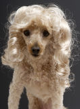 Poodle with Blonde Ringlets Royalty Free Stock Images