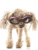 Poodle with Goggles Stock Images