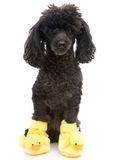 Poodle In Yellow Duck Slippers Stock Photography