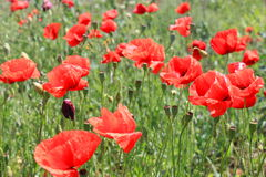 Poppies on the field Royalty Free Stock Photography