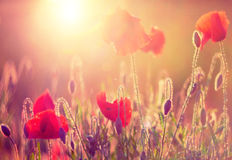 Poppies at sunshine Stock Images