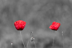Poppy flowers with abstract black and white background Stock Photos