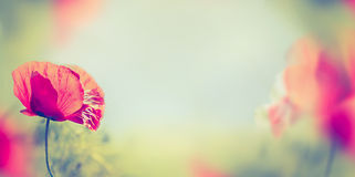 Poppy flowers on blurred nature background, banner Stock Photos
