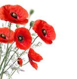 Poppy flowers Royalty Free Stock Photos