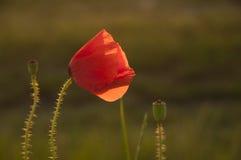 Poppy in sunlight Royalty Free Stock Photos