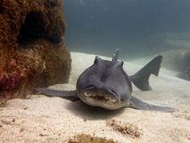 Port Jackson shark Royalty Free Stock Photo