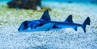 Port Jackson shark Stock Photography