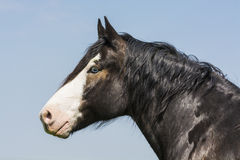 Portrait of blue-eyed horse Stock Photos