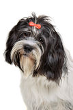 Portrait of a mixed breed dog Royalty Free Stock Photography