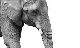 Powerful black and white elephant portrait Royalty Free Stock Photos