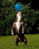 A powerful dog jumping in the air after a balloon Stock Photo
