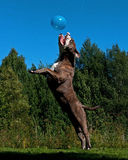 A powerful dog jumping in the air after a balloon Stock Photos