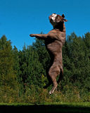 A powerful dog jumping in the air Stock Photos