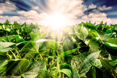 Powerful Sunrise behind closeup of soybean plant leaves Stock Images