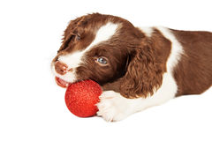 Puppy Chewing On Christmas Ornament Royalty Free Stock Image