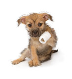 Puppy with an injured paw Stock Photography