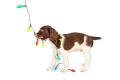 Puppy Playing With Colorful Christmas Lights Royalty Free Stock Images