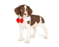 Puppy Wearing Fancy Bow Tie Royalty Free Stock Image