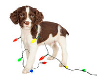 Puppy Wrapped in Christmas Lights Royalty Free Stock Photography