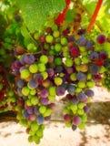 Purple and Green Wine Grapes, California Stock Photo