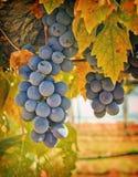Purple Wine Grapes, California Royalty Free Stock Photo