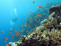 photos sous marine R%C3%A9cif-coralien-avec-des-plongeurs-et-des-anthias-exotiques-de-poissons-au-fond-de-la-mer-tropicale-sur-le-fond-de-l-eau-bleue-38292886