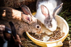 Rabbits eat Food Royalty Free Stock Images