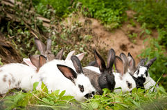 Rabbits eat grass Stock Image
