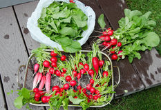Radishes being cleaned. Royalty Free Stock Photo