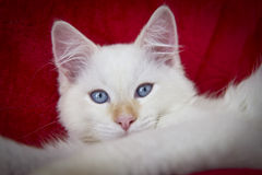 Ragdoll Cat Royalty Free Stock Images
