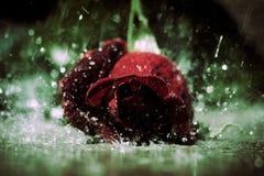 Rain Rose Stock Photos