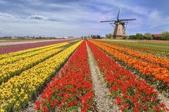 Rainbow color tulip farm Stock Photos
