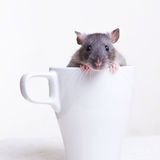 Rat in a Cup Royalty Free Stock Photography