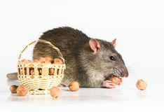 Rat with Hazeluts Royalty Free Stock Photography