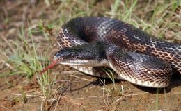 Rat snake Stock Photos