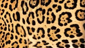 Real Live Jaguar Skin Fur Texture Background Stock Image