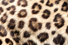 Real Live Leopard Fur Skin Texture Background Stock Image