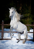 Rearing andalusian horse win winter Stock Photography