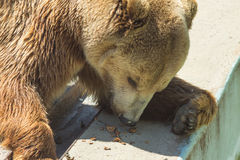 Red bear with an appetite for eating walnuts Stock Photos