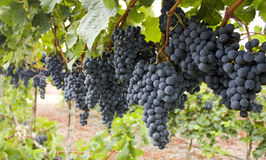 Red bunch of grapes. Royalty Free Stock Photo