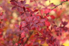 Red bush Stock Photography
