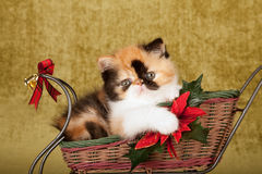 Red Calico Persian kitten sitting inside Christmas sleigh on green gold background Stock Images
