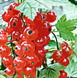 Red currant in the garden Royalty Free Stock Image